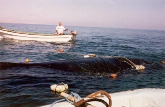 engangled-whale-off-oman-2