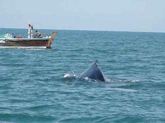 Pakistan Arabian-humpback-whale-at-Astola-Island