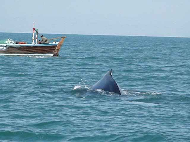 Pakistan Arabian-humpback-whale-at-Astola-Island