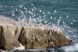 Pakistan nesting birds Astola Island