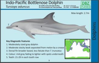 Image from IOTC Cetacean ID cards