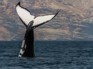 الحوت الاحدب، Hupback Whales